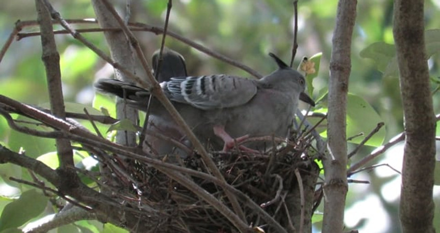 Adult Crested Pigeon with juvenile on the nest