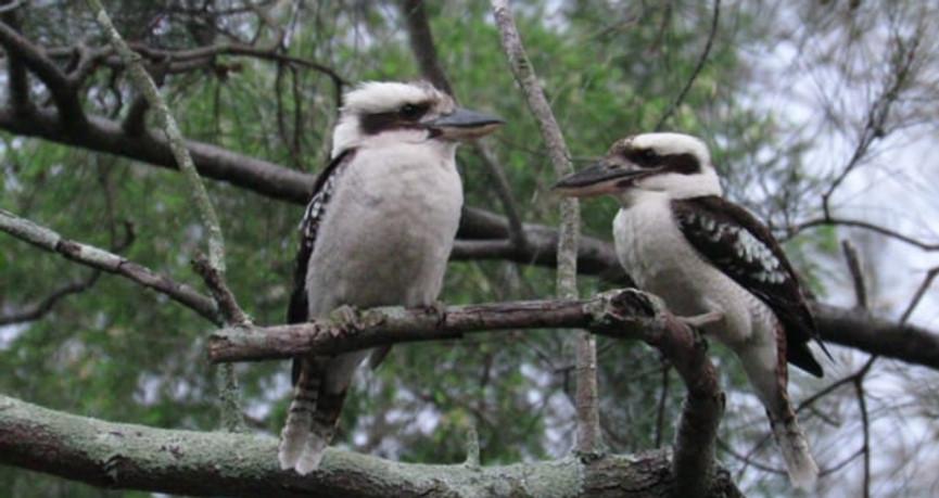 Pair of Kookaburras
