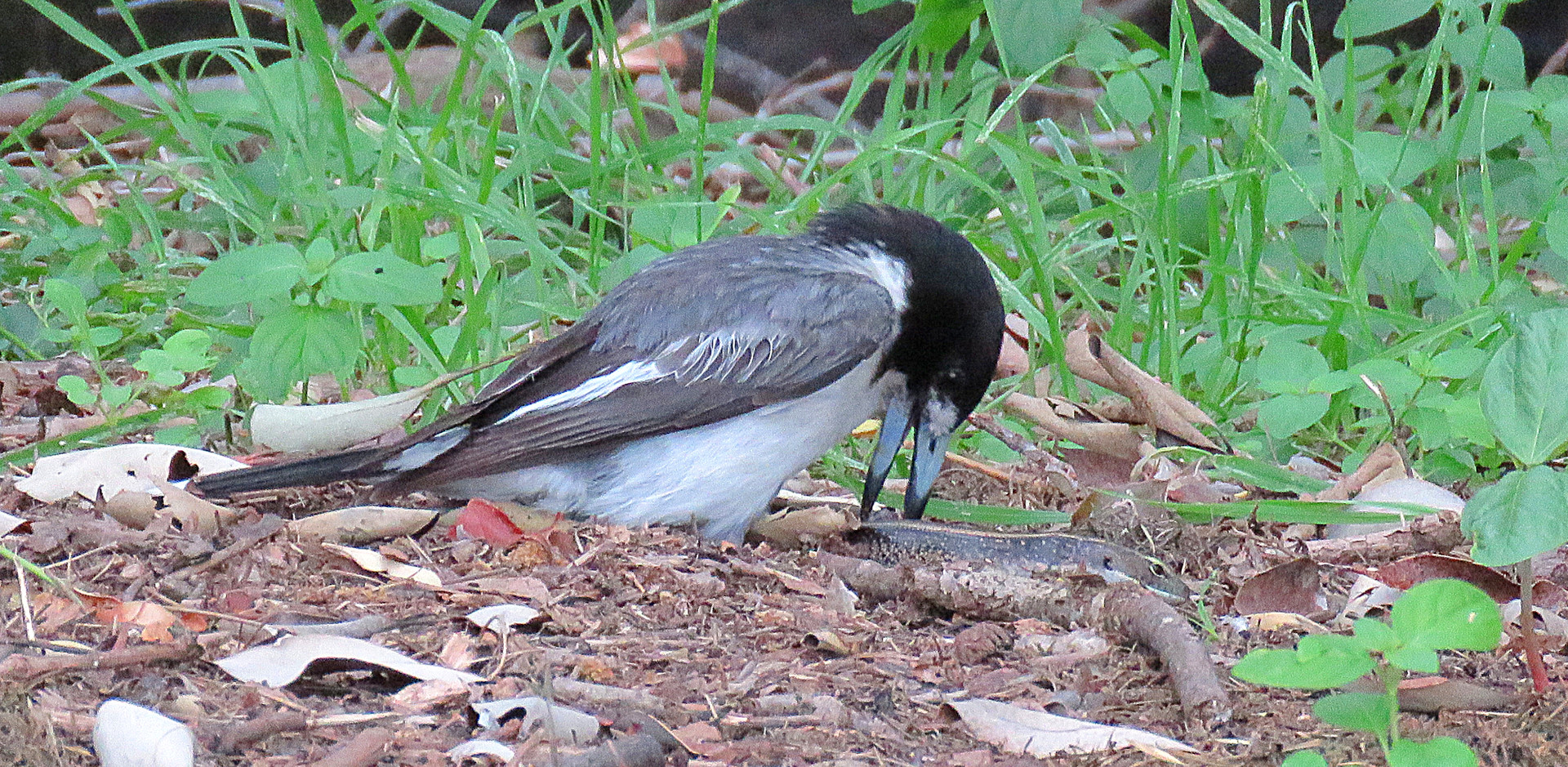 Grey Butcherbird with prey