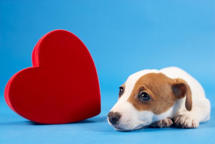 Dog heart murmur cat heart disease Kaitaia Vet Far North vet