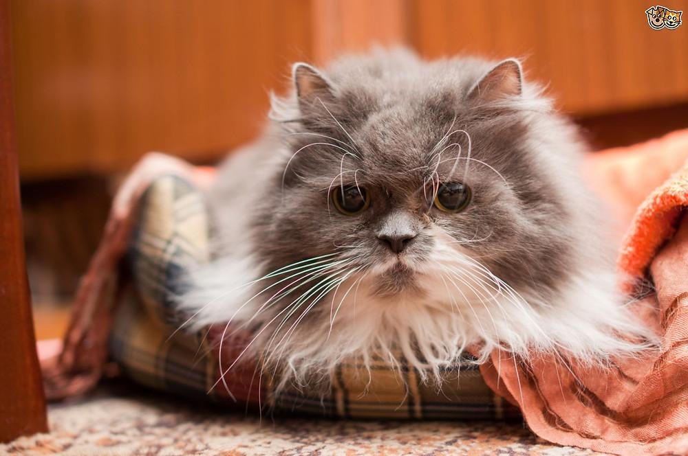 Elderly car Geriatric cat care old cat care