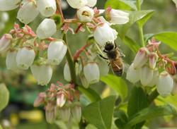 Pollinator-on-Blueberryw