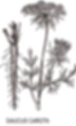 DACUS-CAROTA.jpg