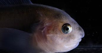 Arctic Snail Fish
