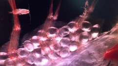 Zooplankton Eggs