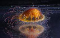 Ptychogastria Polaris