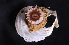 Arctic Sea Anemone