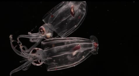 Juvenile Squid in Gulf of Alaska