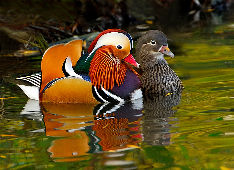 Mandarin duck (Claire) alongside normal duck (Emma), Pinterest.