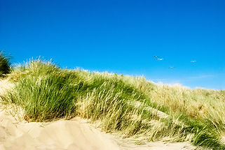 Gulls soaring the dunes at Camber Sands