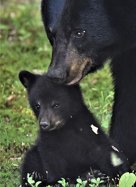 VT bear and cub June 2020 Denise M. Swar