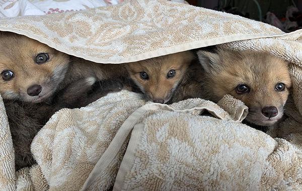 Red fox kits orphaned VT Medora.jpg