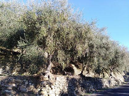 Valle di Dolcedo, Italia. Taggiascas antiguas