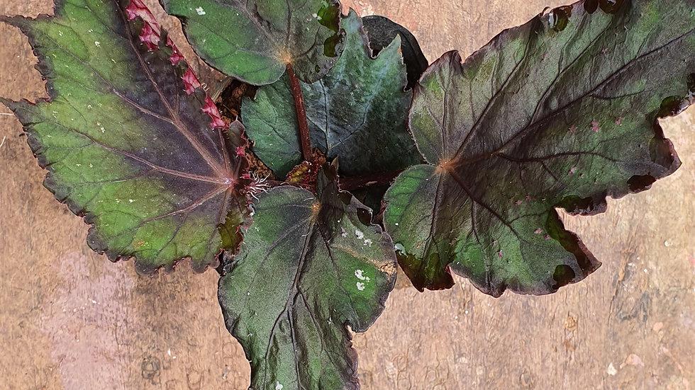 Begonia 278248