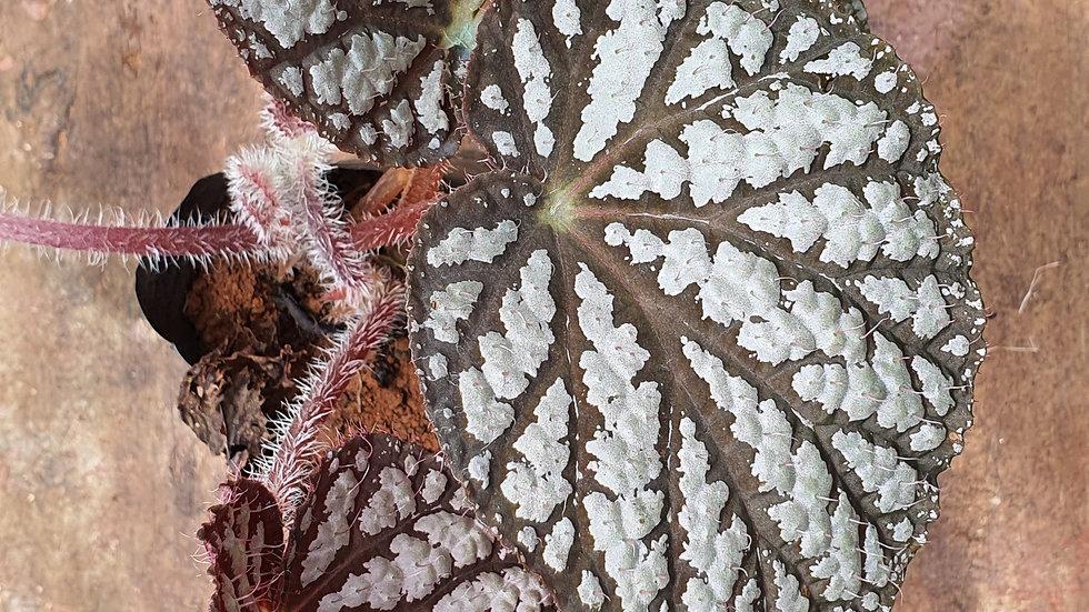 Begonia 278246