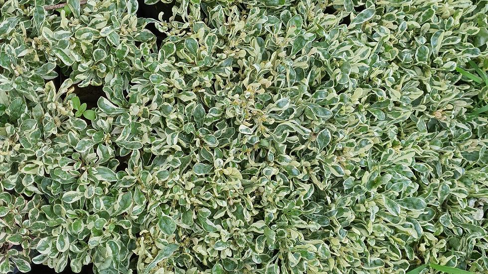 Amaranthus