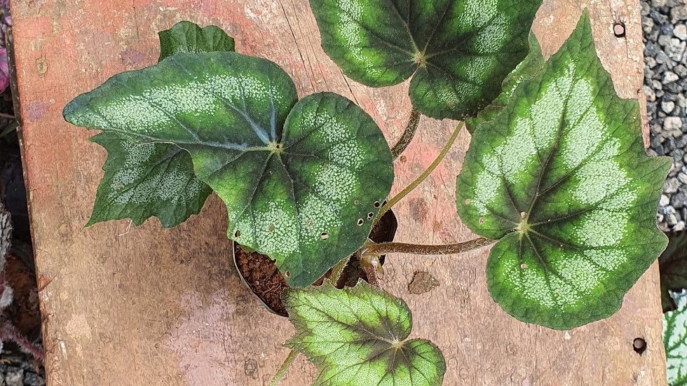 Begonia 278254