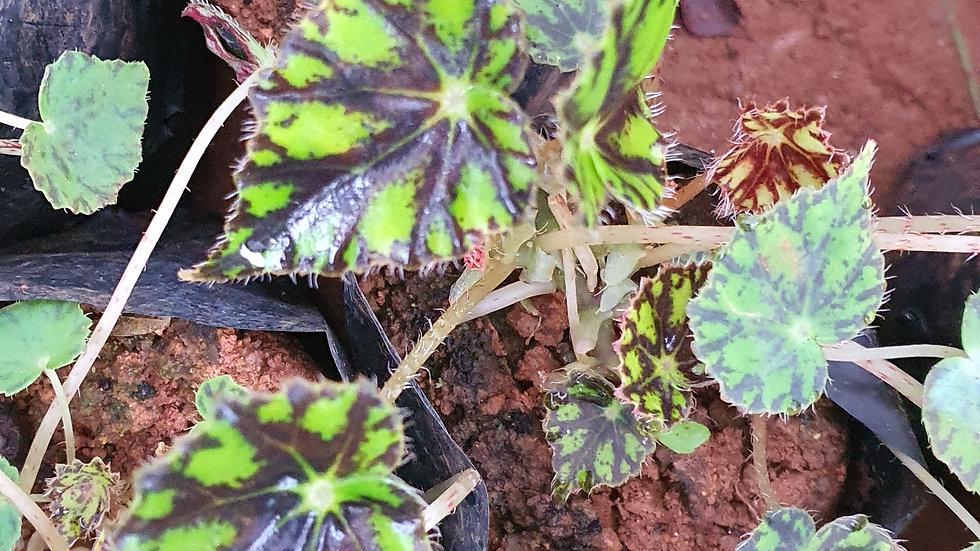 Begonia 278244