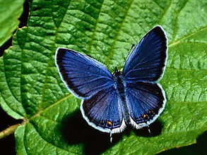 Karner-Blue-Butterfly.jpg