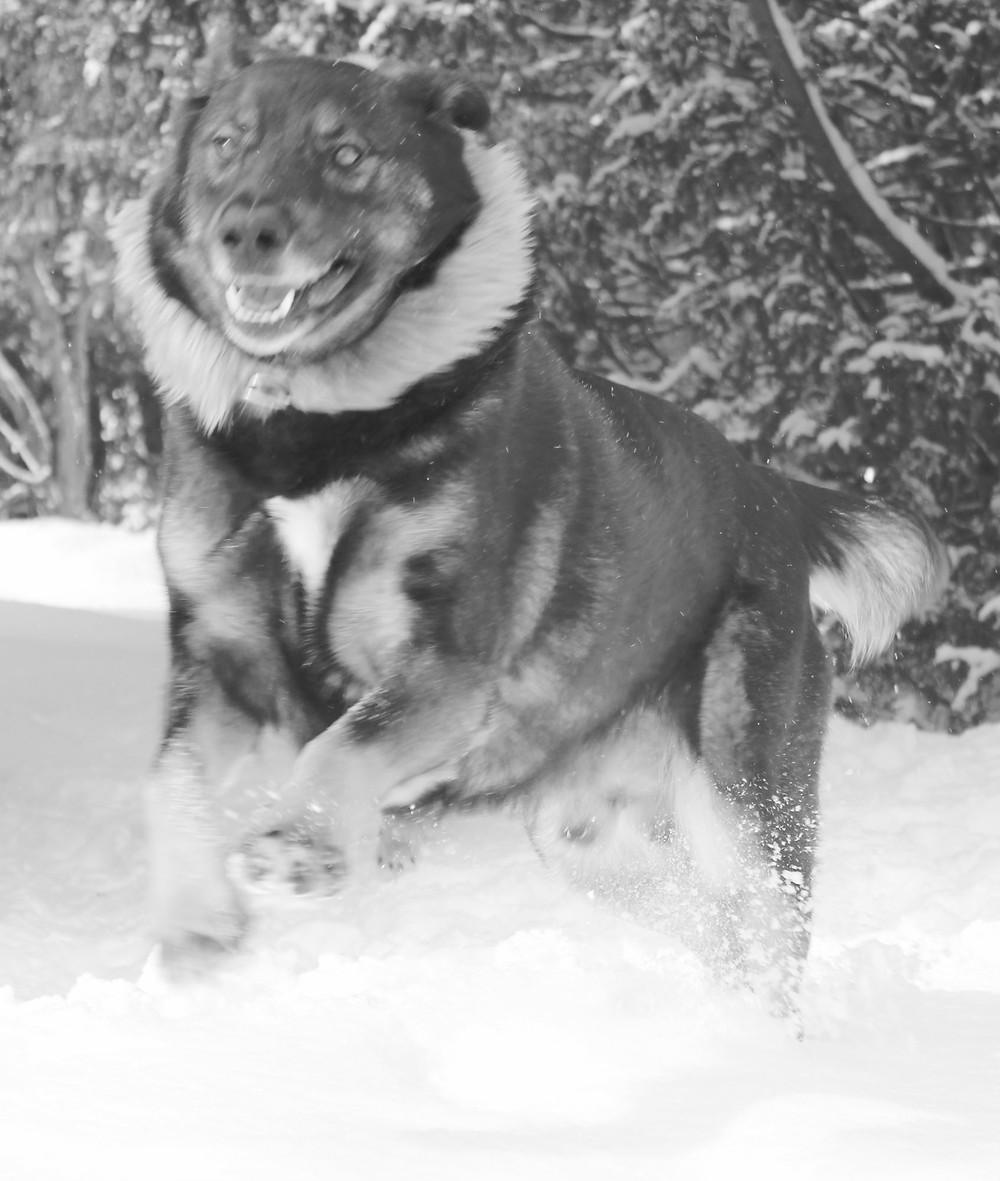 A very happy dog bounding through snow