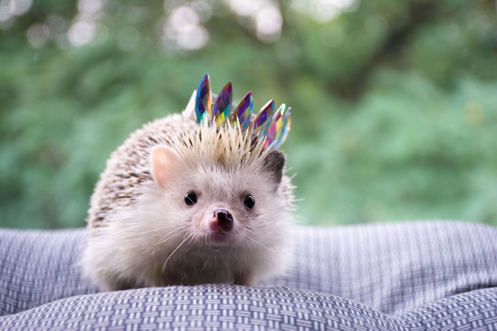 A domesticated hedgehog wearing a sparkly crown
