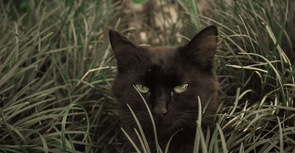 A twitchy black cat eyeing the artist from the tall grass.