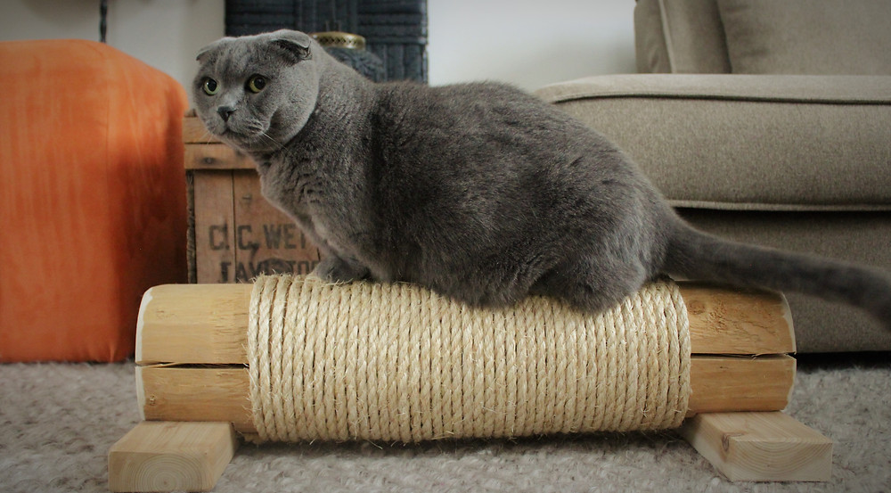 A Scottish Fold cat sits on his new Canadian scratching log