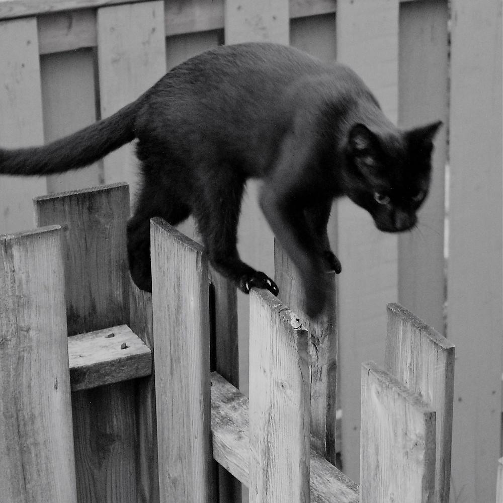 A nimble black cat walks across the top of a property line fence