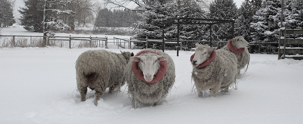Four sheep in a snowy field wearing red faux fur collars