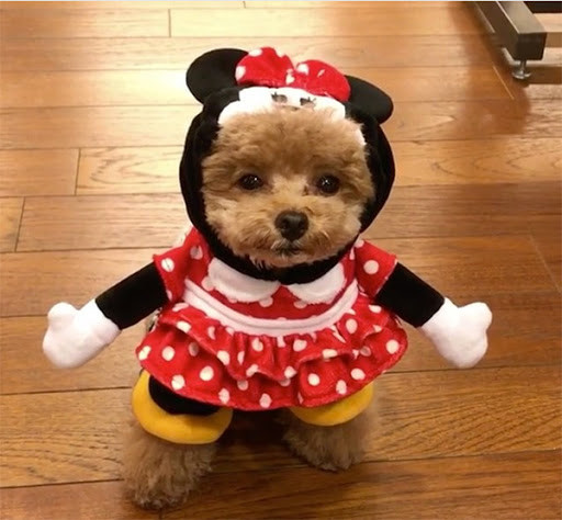 a little dog in a Minnie mouse costume