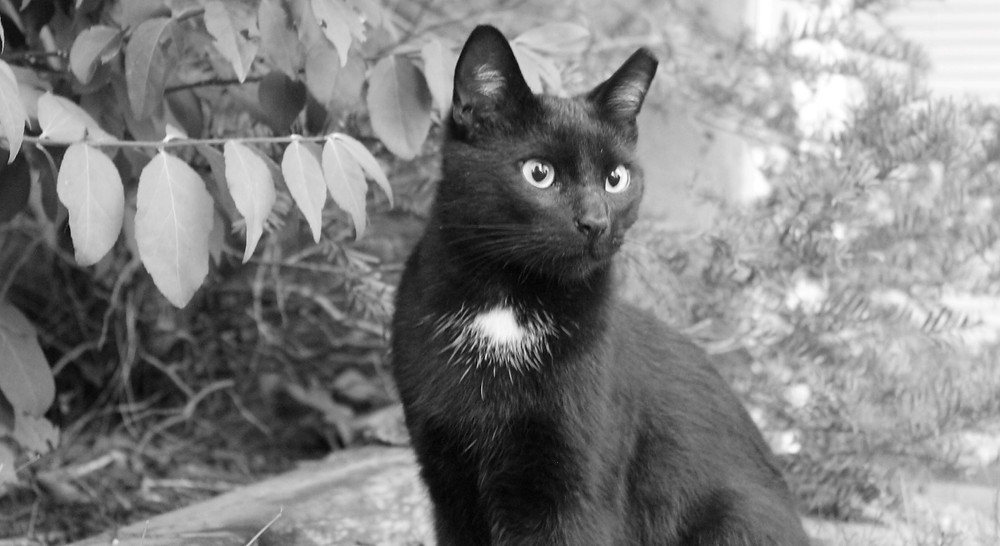 A beautiful young black cat in a the artist's garden.