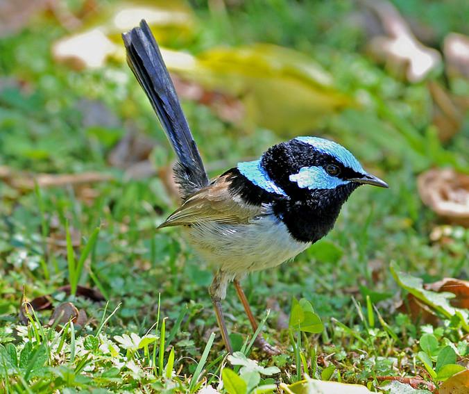 blue wren a.jpg