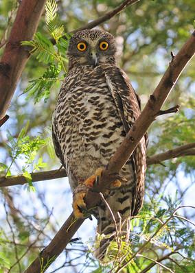 powerful owl 5.jpg