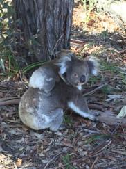 Koala in the park