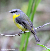 Eastern Yellow Robin.jpg