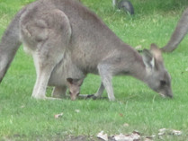 Mum and Joey feeding in the park