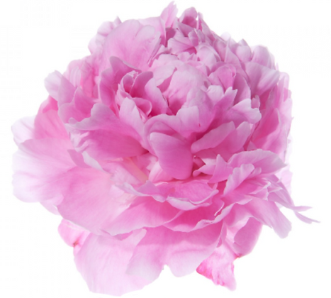 peonyfixed.PNG