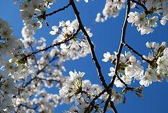 Cherry tree 2014.JPG