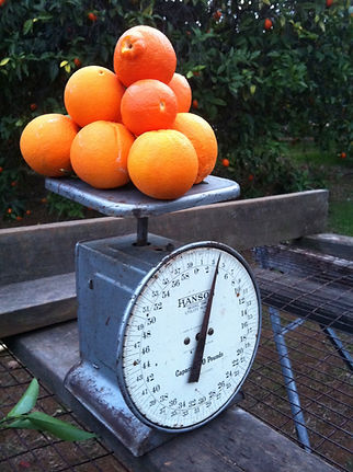 A stack of oranges being weighed during harvest