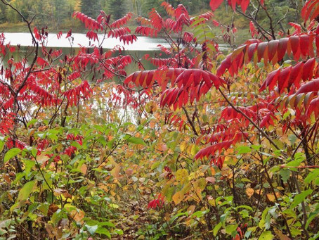 Forest Favorites: A Minnesota Fall Color Roundup