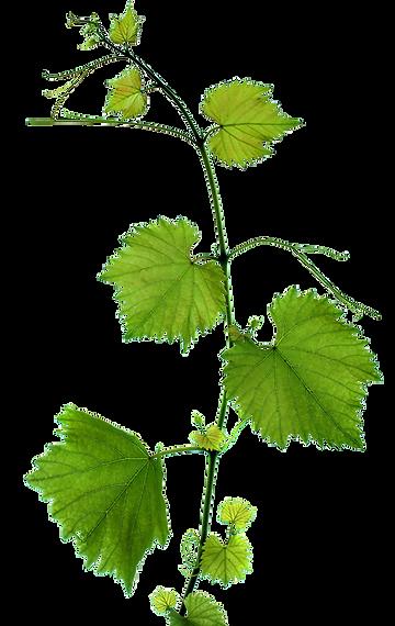 feuille de vigne.png