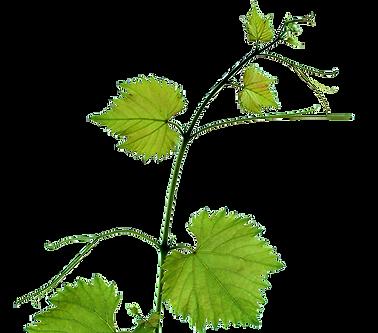 feuille de vigne1.png