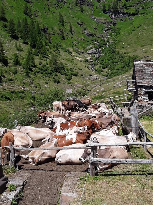 Corte di fondo - Mucche - Fumegna
