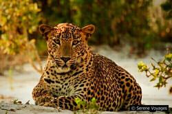 Wildlife: Leopard, Wilpattu