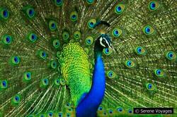 Birding: Indian Peacock, Yala