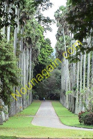 Rather Tall Trees in Sri Lanka