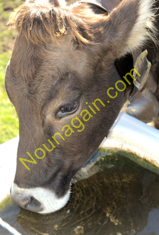 Thirsty Calf