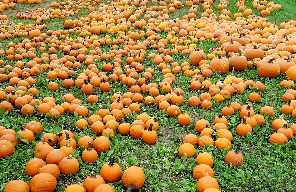 Pumpkins at Connors Farm in Danvers, MA