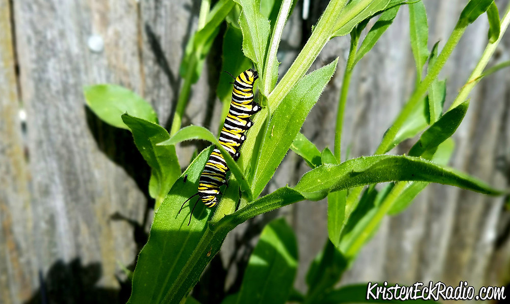 Caterpillar Climb by Kristen Eck