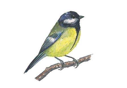 great-tit-watercolour-sarah-dowling-bristol-wildlife-illustration